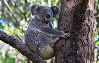 Koala in tree - City of the Gold Coast, Australia